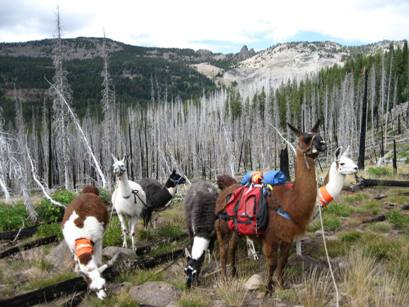Burns Llama Trailblazers Pack String in snags under Rabbit Ears, Strawberry Mtn. Wilderness