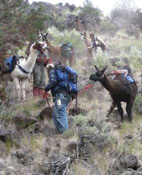 Pack Llamas Negotiating Rimrock