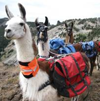 BLT Pack Llamas at High Lake
